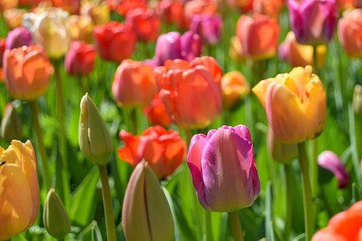 Tulips, Colorful, Flowers, Field, Meadow, Garden