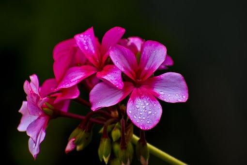 Flower, Flora, Dewdrops, Dew On Petals, Garden, Nature