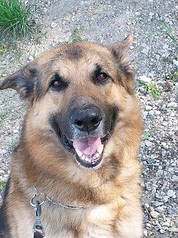 Dog, Pet, Animal, Head, Domestic Dog, Canine, Mammal