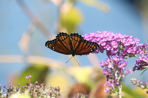 Monarch, Butterfly, Flowers, Pollinate, Pollination