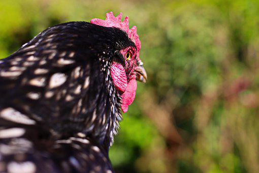 Chicken, Hen, Poultry, Bird, Animal, Feathers, Plumage