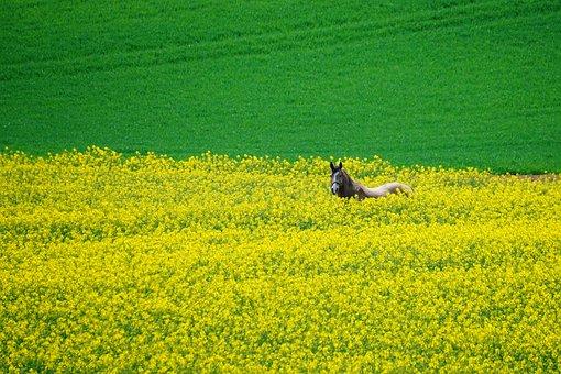 Horse, Oilseed Rape, Field, Yellow, Green, Ride, Spring