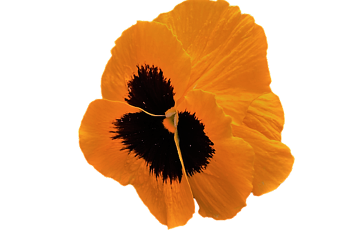 Pansy, Colored, Orange Flower, The Petals