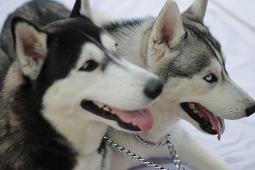 Husky, Dogs, Pets, Canines, Mammals, Tongue Out