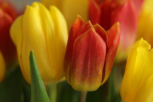 Tulips, Flowers, Plants, Petals, Bulb Flowers