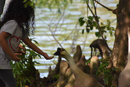 Girl, Feed, Swan, Child, Kid, Feeding, Bird, Waterfowl