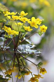 Kabbeleka, Wetland, Water Plant, Flower