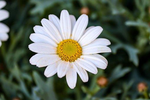 Marguerite, Flower, Daisy, White Flower, White Daisy