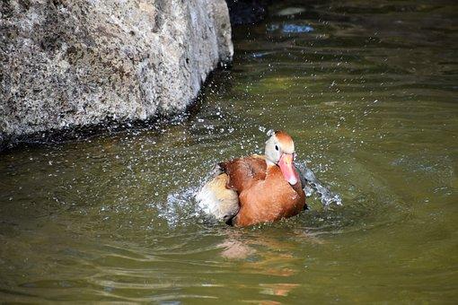 Duck, Mallard, Bird, Wildlife, Nature, Swim, Lake, Wild