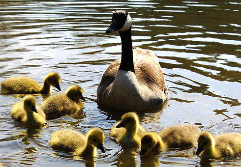 Pond, Goose, Goslings, Geese, Water, Young Animals