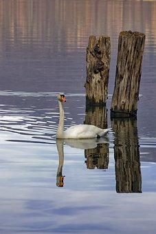 Swan, Lake, Wooden Poles, Bird, Water Birds, Feathers