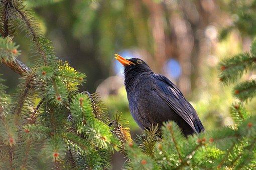 Blackbird, Male Blackbird, Bird, Songbird, Birdwatching