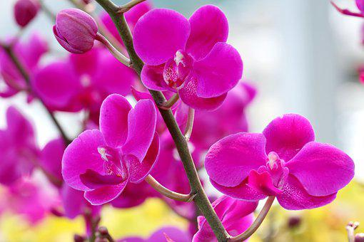 Pink, Orchids, Flowers, Bloom, Blossom, Phalaenopsis