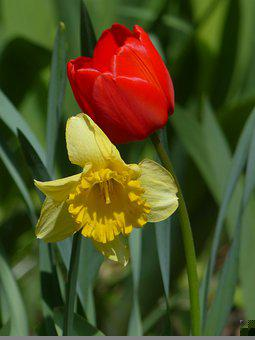 Tulip, Daffodil, Red Flower, Yellow Flower, Bloom