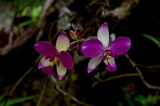 Erdorchidee, Blossom, Bloom, Bi Color, Rarely