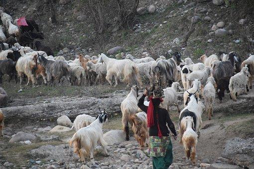 Sheep, Goats, Shepherd, Flock, Livestock, Animals
