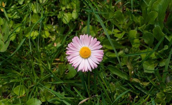 Daisy, Flower, Grass, Pink Daisy, Petals, Pink Petals