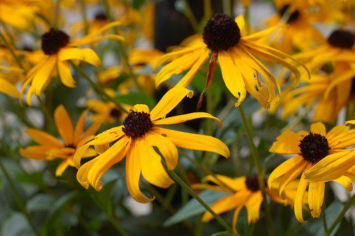 Black-eyed Susan, Flower, Plant, Yellow Flowers, Petals