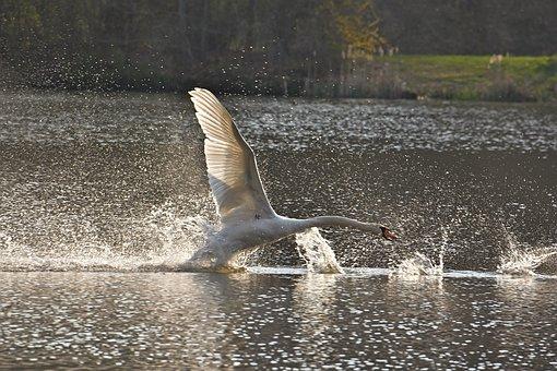 Mute Swan, Flight, Lake, Wings, Plumage, Elegant