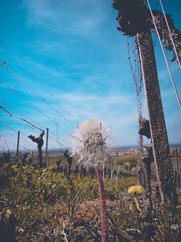Dandelion, Vineyard, Vines, Wine Growing, Spring