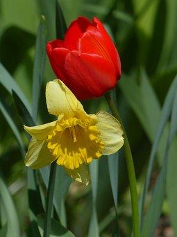Tulip, Daffodil, Red Flower, Yellow Flower, Bloom
