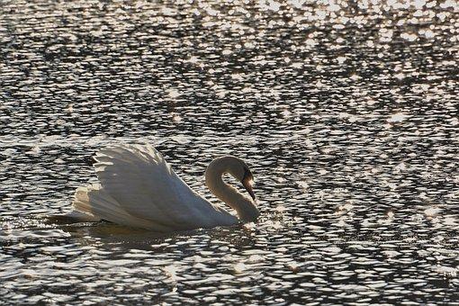 Mute Swan, Swan, Bird, Waterfowl, Water Bird, Feathers