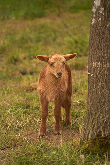 Lamb, Meadow, Sheep, Young, Mammal, Young Animal