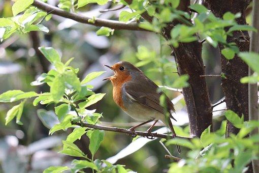Robin, Bird, Branch, Perched, Animal, Robin Redbreast