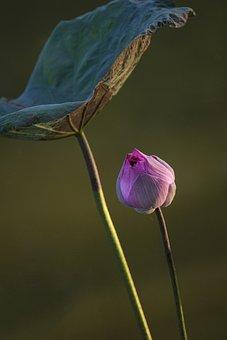 Lotus, Bud, Leaf, Flower, Water Lily, Lotus Flower