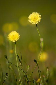 Dandelion, Flowers, Plant, Common Dandelion