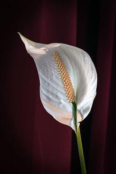 Anthurium, Flower, Plant, Flamingo Flower, White Flower
