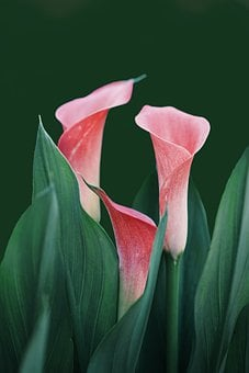 Flowers, Calla Lilies, Bloom, Nature, Plant, Blossom