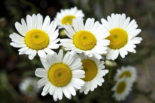 Flowers, Marguerites, Daisies, White Daisies, Bloom