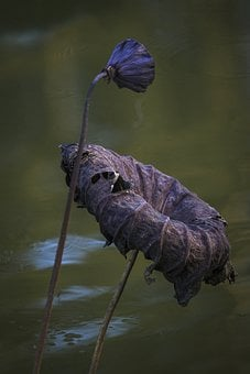 Water Lily, Plant, Withered, Dried Plant, Seed Pod