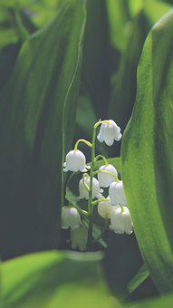Lily Of The Valley, Flowers, Plant, White Flowers