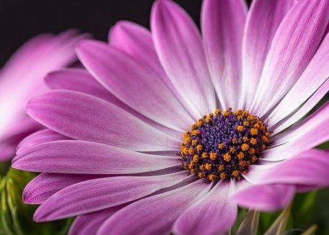 Cape Marguerite, Purple, Flower, Petals, Purple Flower