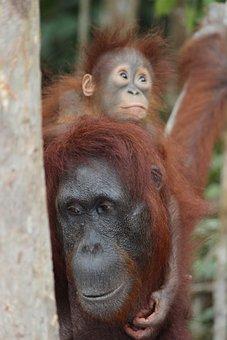 Orangutans, Animals, Baby Orangutan, Wildlife, Primate