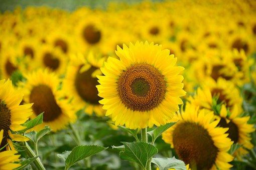 Sunflowers, Field, Yellow, Yellow Flowers