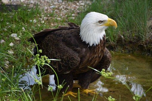 Bald Eagle, Bird 2021, Animal, Eagle, Bird Of Prey