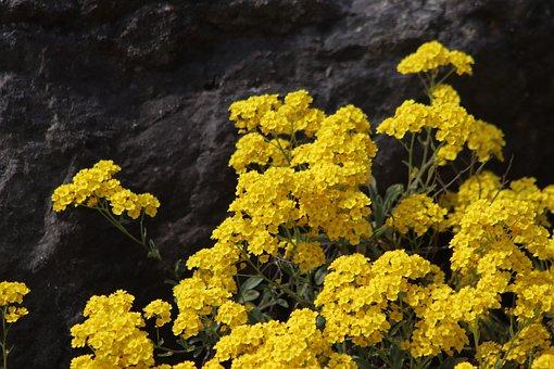 Rock Stone Herb, Yellow Flowers, Aurinia Saxatilis
