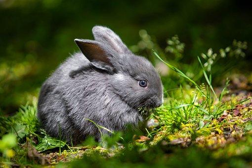 Chinchilla Rabbit, Rabbit, Pet, Baby Rabbit, Animal
