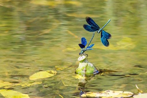 Beautiful Demoiselle, Calopteryx Virgo, Zygoptera