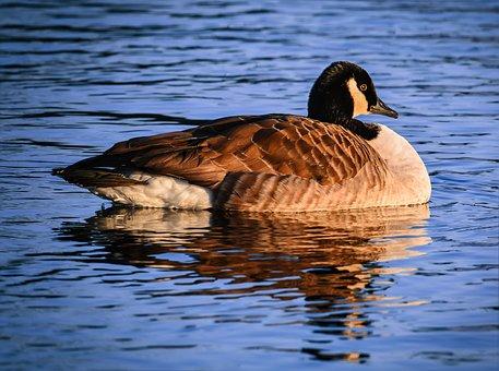 Canada Goose, Goose, Water, Lake, Mirroring, Bird, Swim