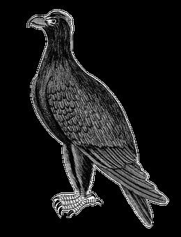 Mountain Eagle, Bird, Eagle, Raptor, Bird Of Prey