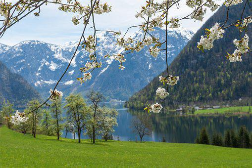 Spring, Lake, Mountains, Branches, White Flowers, Alps
