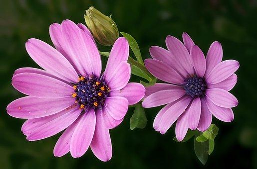 Marguerite, Cape Basket, Flowers, Bud, Flower, Summer