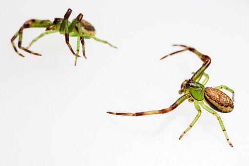 Green Crab Spider, Diaea Dorsata, Pair, Arthropod
