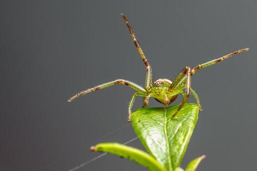 Green Crab Spider, Diaea Dorsata, Arthropod