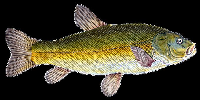 Tench, Fish, Animal, Doctor Fish, Freshwater Fish