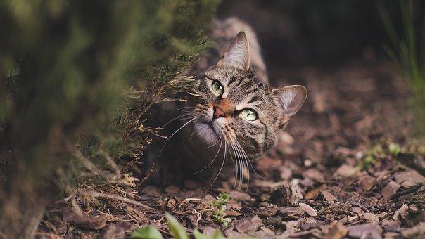 Cat, Feline, Tabby, Tabby Cat, Pet, Whiskers, Curious